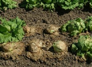 Salate putrezite