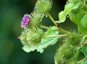 Flori de brusture