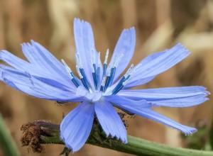 Floare de cicoare