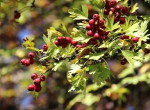 Fructe de păducel