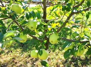 Culese în această fază, merele Golden Delicious vor rămâne verzi