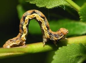 Larva cotar, cu colorit deosebit