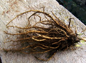 Rădăcini de nalbă-mare