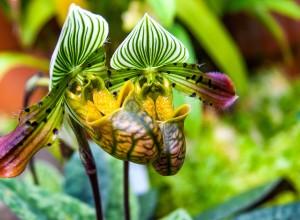 Paphiopedilum venustum - udare generoasă