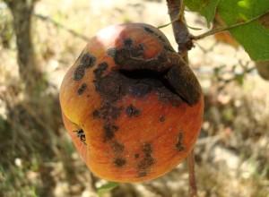 Rapănul mărului