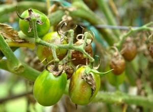 Tomate verzi mănate