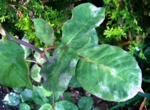 Frunze de trandafir infectate de făinare