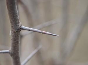 Spinul - ramură prefloriferă de prun