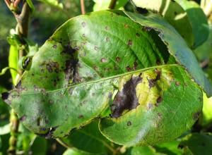 Frunză de păr afectată de pătarea brună