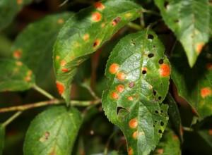 Frunze de prun îmbolnăvite de pătarea roșie