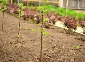 Pomi nou plantați, porniți în vegetație