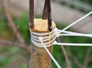 Fixarea ramurilor poartaltoi cu bride de plastic