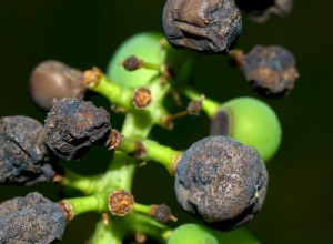 Efectele putregaiului negru asupra strugurilor