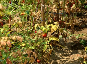 Tomate mănate