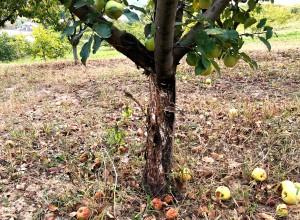 Efectul erbicidului neselectiv (total) asupra pomilor