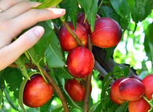 Nectarin Cora