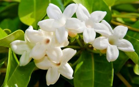 Parfumul Iasomiei de Madagascar este ameţitor!