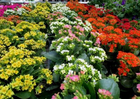 <p>Kalanchoe blossfeldiana, cea mai răspândită.</p>