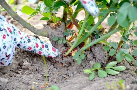 Tulpinile sălbatice de măceş se disting cu uşurinţă de tulpinile nobile, datorită culorii, spinilor şi formei specifice a funzelor.