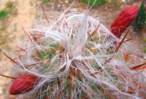 Cactusul lânos înflorește uimitor de frumos!