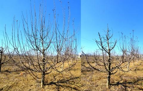Măr adult cu creșteri exuberante în anul precedent