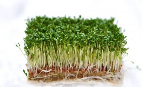 Plante tinere de creson