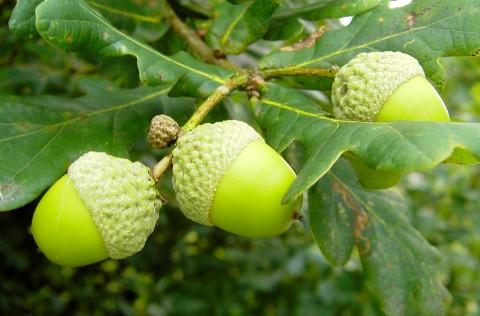 Zona gorunului (și a stejarului) este ideală pentru toate speciile pomicole