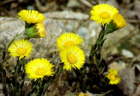 Flori de podbal