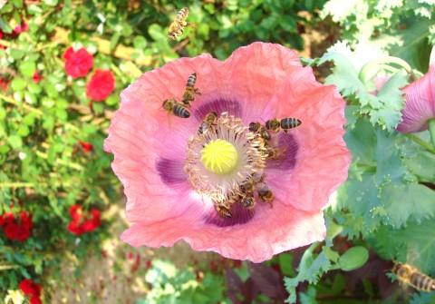 Florile de mac, foarte apreciate de albine