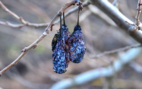 Prune mumificate de monilioză