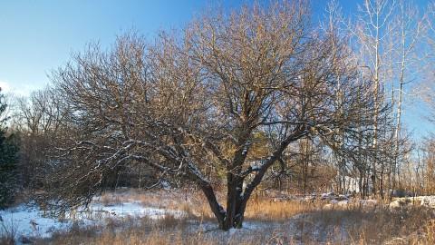 Un pom bătrân poate fi întinerit prin tăieri de refacere