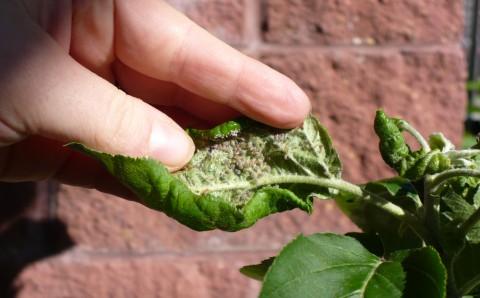 Afide ascunse sub frunze de măr