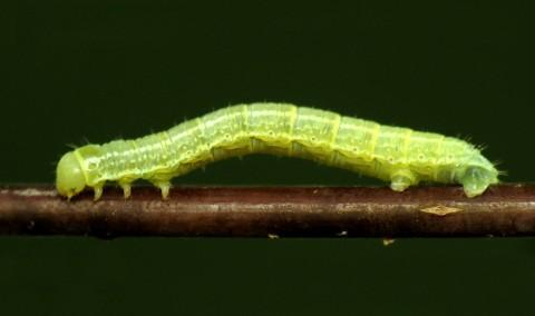 Larva de cotar verde
