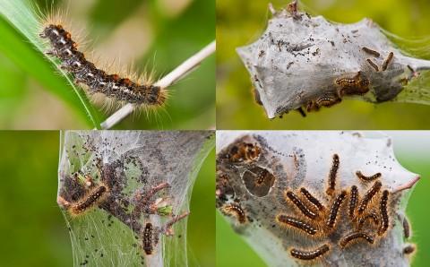 Cuiburi cu larve ale fluturelui cu abdomen auriu