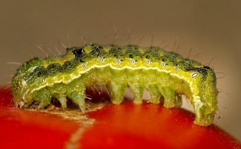 Omida fructificațiilor pregătindu-se să muște dintr-o roșie