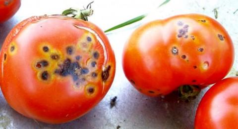 Cicatricele pătării pustulare rămase pe tomate mature