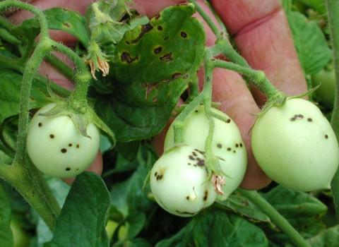 Vârsta la care se încheie atacul Xanthomonas vesicatoria pe tomate