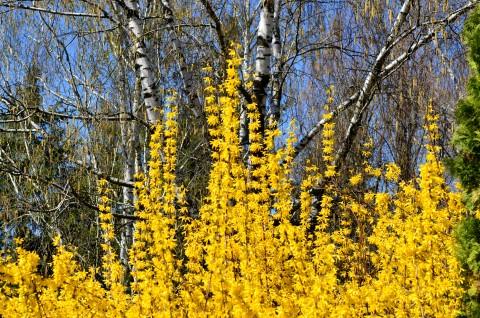 Forstythia viridissima: arbust viguros, erect, flori involte