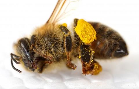 Albină moartă