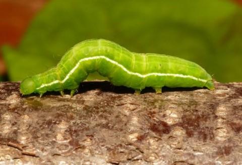Plusia, larvă