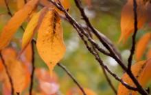 Cireș în faza de cădere a frunzelor