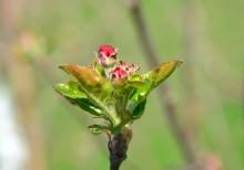 Fenofaza buton roz la măr