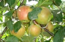 Fenofaza debutul maturării fructului la măr