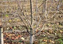 Fenofaza după căderea frunzelor