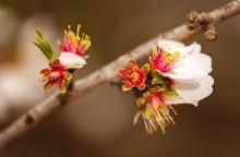 Flori de piersic în faza de scuturare