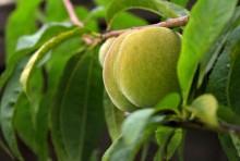 Fruct de piersic in faza de debut a maturarii