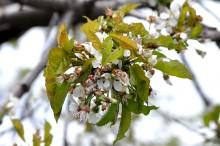 Începutul scuturării petalelor la cireș