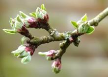 Înfrunzirea mugurilor florali la măr