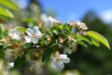 Faza scuturării petalelor la măr