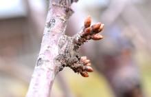 Muguri floriferi de cireș, în repaus vegetativ